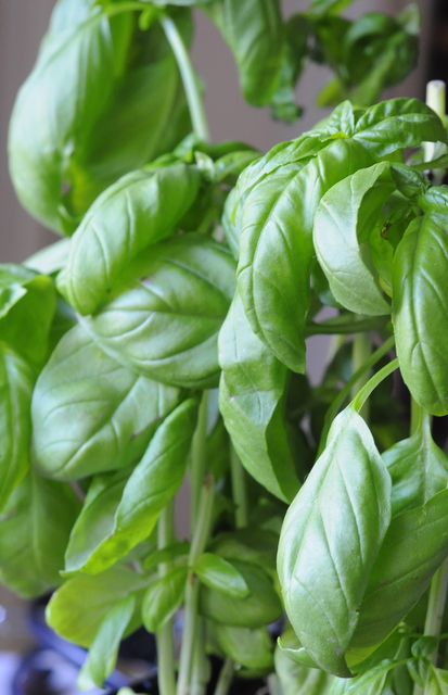 Basil Syrup Recipe